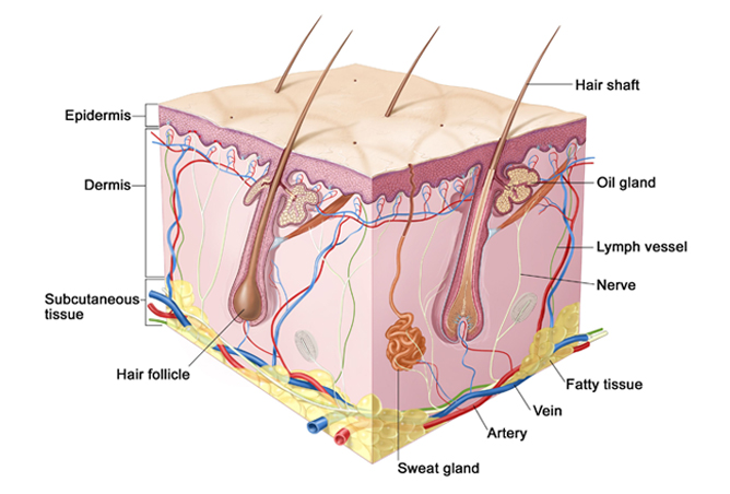 Damaged Hair Follicles Diagram